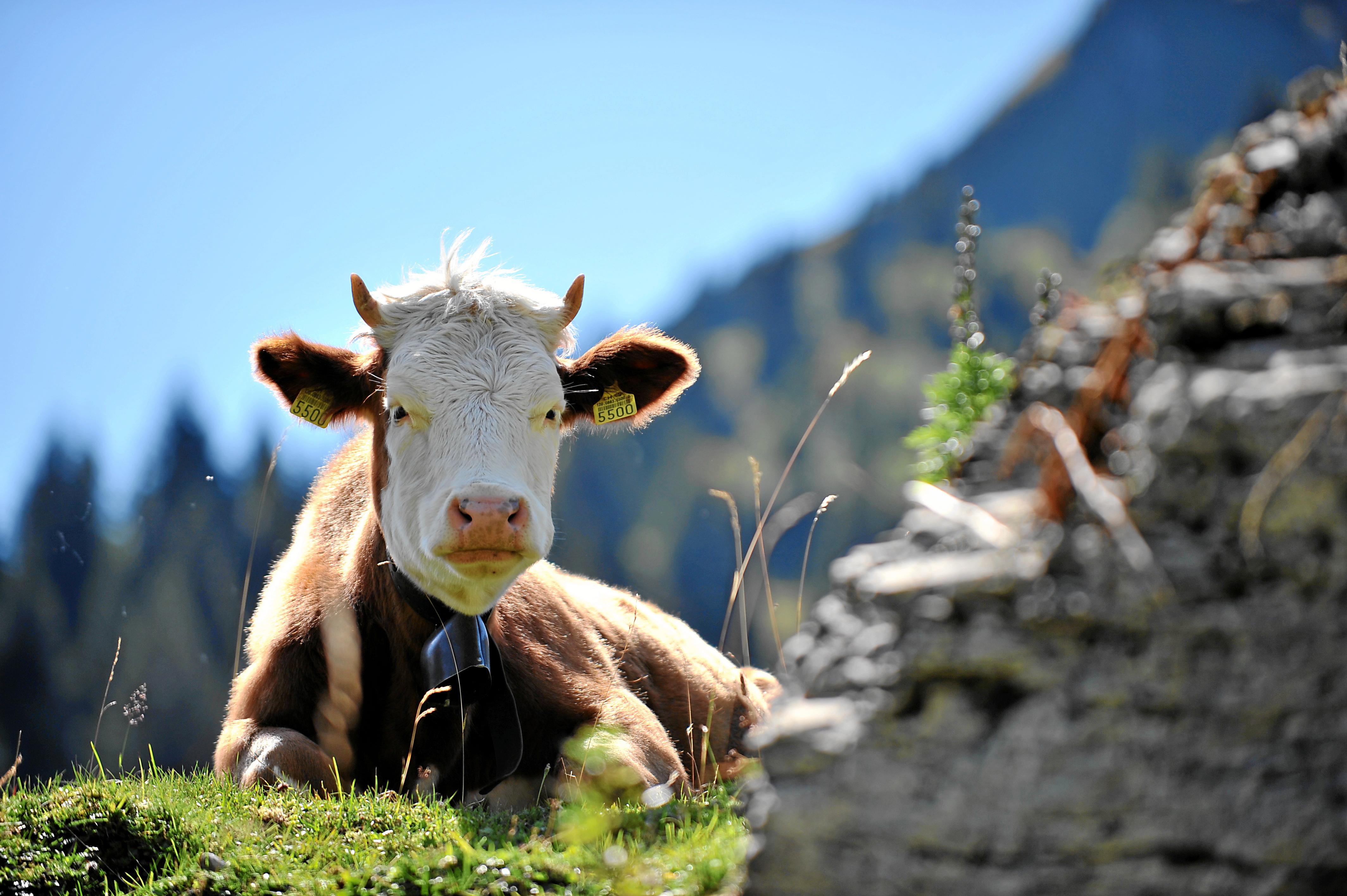 Kühe auf der Weide Natur erleben